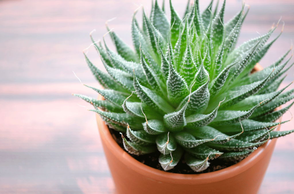 Aloe plant adds air purification